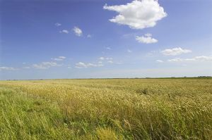 Lithuania, wheat fields near Marijampole