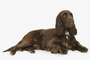Liver and white Field Spaniel lying down