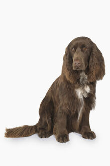 Liver and white Field Spaniel, sitting