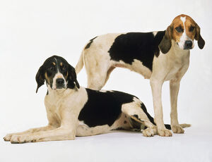 Two long-eared white, tan, and black English foxhounds, one standing and the other