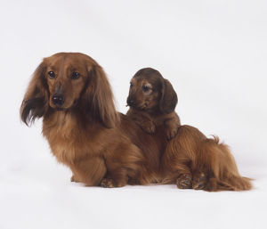 Long-Haired Dachshund (Canis familiaris) with puppy leaning over its back
