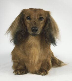 Long-Haired Dachshund (Canis familiaris), front view