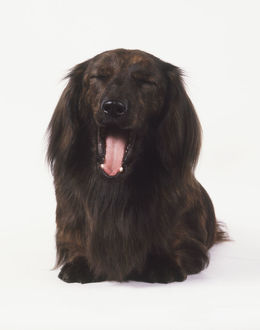 Long-haired Dachshund (Canis familiaris) yawning, front view