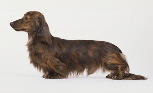 Long-haired Dachshund, Domestic Dog, canis familiaris, side view