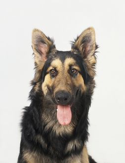 Long haired German Shepherd dog panting