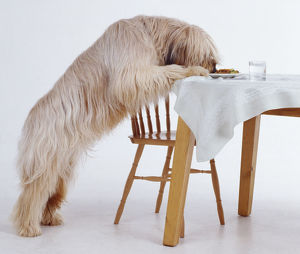 A longhaired Briard swipes food from a plate on a dinner table while standing