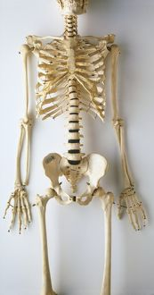 Lower half of human skeleton, jaw, spinal column, rib cage, pelvis, femurs, arms