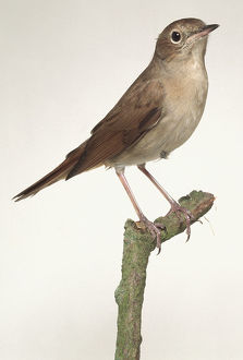 Luscinia megarhynchos, Nightingale perched on thin stump, side view.