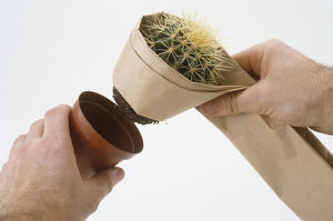 Mammillaria cactus being removed from pot, brown paper wrapped around it to protect from spines