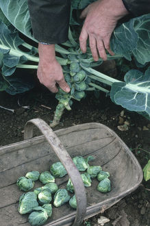 Man harvesting brussels sprouts by hand, picking them from the stem of the plant