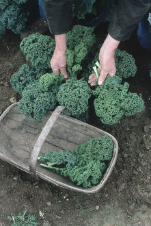 Man harvesting kale by hand into a basket.