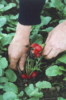 Man harvesting multiple-sown radishes by hand.