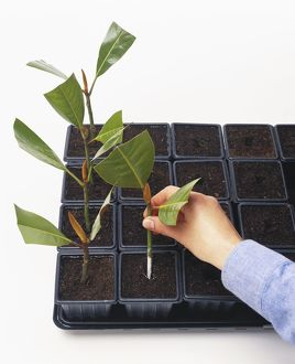 Man inserting magnolia cutting in pot containing peat and bark