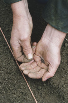 Man sowing swede seeds by hand using a string as a guide.