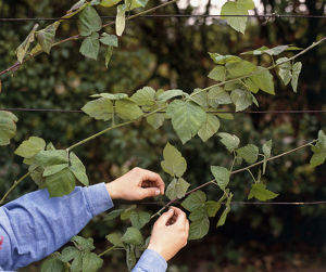 Man tying blackberry stems to horizontal wire outdoors