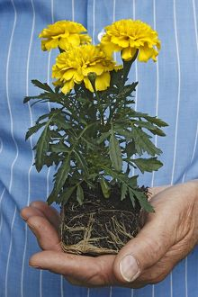 Man's hand holding yellow Calendula (Marigold) with its roots visible
