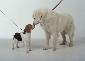 Maremma Sheepdog and Beagle puppy with noses touching