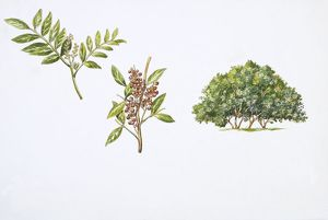 Mastic Tree (Pistacia lentiscus) plant with flower, leaf and drupe, illustration