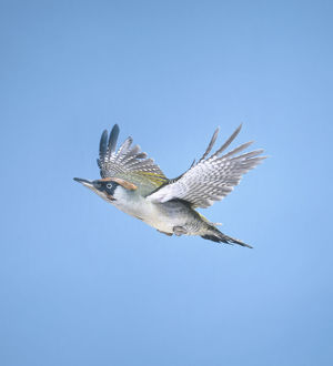 Green woodpecker (Picus viridis) in flight, side view