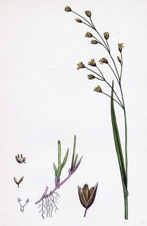 Melica uniflora, Wood Melic-grass