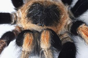 Mexican Red Kneed Tarantula (Brachypelma smithi) part of hairy body, eyes and legs
