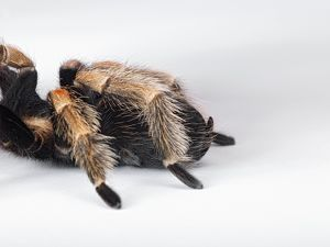 Mexican Red Kneed Tarantula (Brachypelma smithi) part of hairy body and back legs