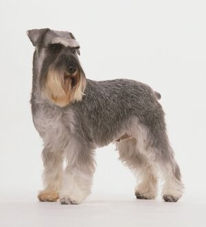 Miniature Schnauzer standing with its head turned away