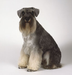 A miniature Schnauzer terrier with bushy brown grey fur along its snout and a long
