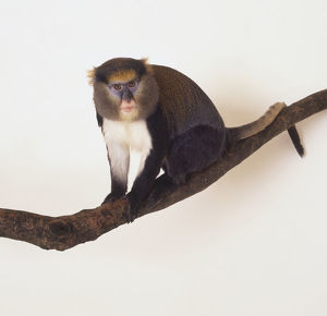 Mona Monkey (Cercopithecus mona) blue and pink face, bright yellow eyebrows, perched on branch