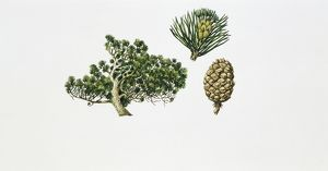Mountain Pine (Pinus mugo), illustration