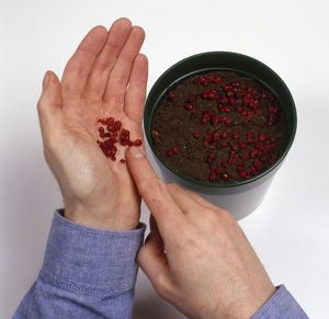 Moving Viburnum berries from palm of hand onto compost in plant pot