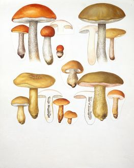 Mushrooms, illustration