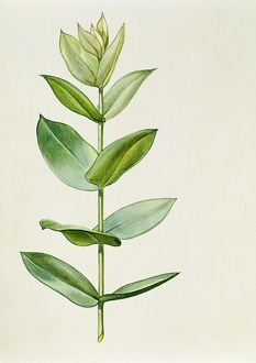 Myrtaceae Young leaves of Blue Gum Eucalyptus globulus, illustration
