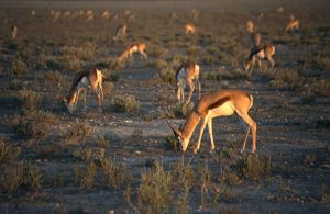 Namibia, Etosha National Park, Springbok (Antidorcas marsupialis) grazing on semi-arid