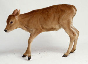 Newborn Jersey calf learning to stand, legs bent uncertainly, tan coloured fur, head