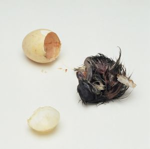Newly hatched Australian Wood Duck (Chenonetta jubata) duckling seconds after emerging from egg