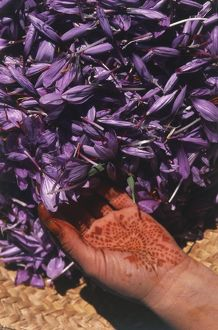North Africa, Morocco, Taliouine, hand covered in henna pattern, handling dried Saffron flowers