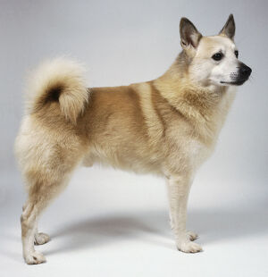 Norwegian buhund standing on all fours, tail curled up.