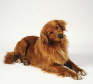 Nova scotia duck tolling retriever lies comfortably with its head tilted slightly