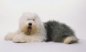 Old English Sheepdog (Canis familiaris) lying down, head turned towards camera, side view.