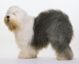 Old English Sheepdog (Canis familiaris) with fluffy, half white, half grey coat, standing