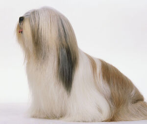 Old English Sheepdog (Canis familiaris), side view