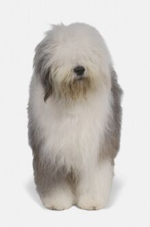 Old English Sheepdog, front view