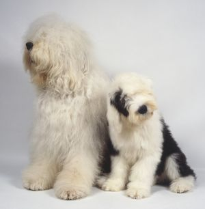 animals/old english sheepdogs canis familiaris white