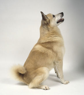 Orange Norwegian Buhund sitting looking up with mouth slightly open