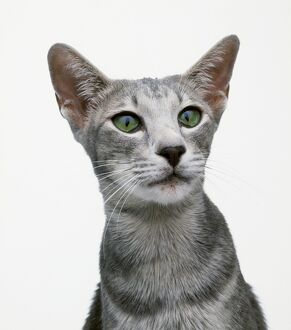 Oriental blue shorthair cat with green eyes, close-up