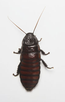 Oriental Cockroach (Blatta orientalis), view from above