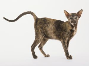 Oriental Shorthair Cat (Felis catus) with a patchy, brown, black and white coat and a long