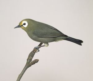 Oriental white-eye (Zosterops palpebrosus), perching on a branch, side view
