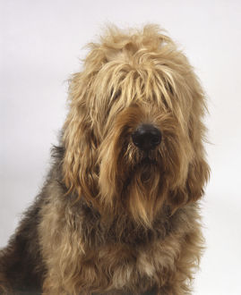An otterhound with long wavy whitish-brown hair cascading over its eyes, head only